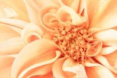 橙色大丽花 库存照片