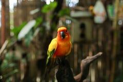 橙色大鹦鹉坐分支在棕色木笼子背景中 库存照片