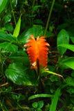 橙色姜花 免版税库存图片