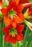 橙色孤挺花 免版税图库摄影