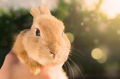 橙色小兔子在人的手上 库存照片