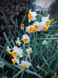 橙色小杯黄水仙的花和白色美好的可爱的宏指令关闭 水仙,主要地春天四季不断的pl类  免版税库存图片
