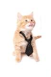 橙色小猫舔 免版税库存照片