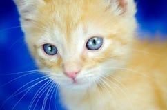 橙色小猫颊须宠物收养照片 免版税库存照片