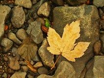 橙色山毛榉在生苔石头离开在增加的水平面下。 免版税图库摄影