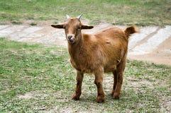 橙色山羊舔它的鼻子,充分的身体视图 免版税库存照片