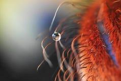 橙色巴西塔兰图拉毒蛛的腿与水的极端放大下落的  免版税图库摄影