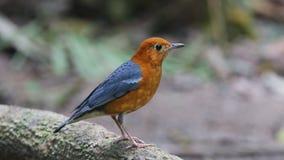 橙色带头的泰国的鹅口疮Geokichla citrina美丽的公鸟 影视素材