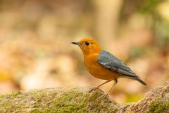 橙色带头的鹅口疮鸟 库存照片