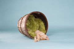 橙色平纹小猫睡着在有毯子的一个桶 免版税库存图片