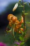 橙色庭院百合 库存图片
