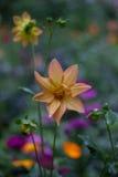 橙色庭院花 库存照片