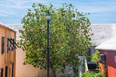 橙色开花的树 免版税图库摄影