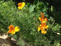 橙色开花的鸦片在花床上 免版税库存图片