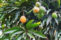 橙色成熟和束在树的绿色芒果在庭院里 免版税库存图片
