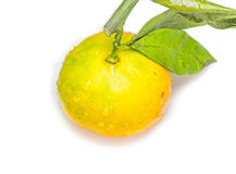 橙色成熟 免版税库存照片
