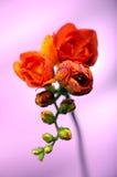 橙色或红色小苍兰用水在lila背景,开花的花下降 免版税库存照片
