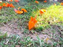 橙色拙劣的tesk花 库存图片