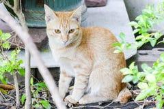 橙色无家可归的猫在一个寺庙居住在泰国 免版税库存图片