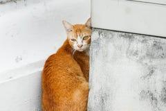 橙色无家可归的猫在一个寺庙居住在泰国 免版税库存照片