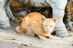 橙色无家可归的猫在一个寺庙居住在泰国 库存图片