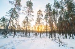 橙色日出在冬天冷淡的森林里 免版税库存照片