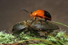 橙色昆虫 库存图片