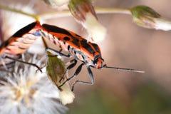 橙色昆虫Pentatomidae 免版税图库摄影