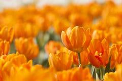橙色春天郁金香 库存图片