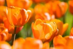 橙色春天郁金香 免版税库存照片