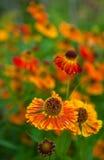 橙色春白菊 库存图片