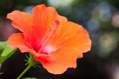 橙色木槿花 库存图片