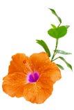 橙色木槿,在白色的热带花 图库摄影