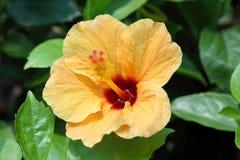 橙色木槿 免版税库存图片