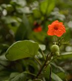 橙色木槿 图库摄影