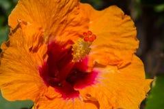 橙色木槿 免版税库存照片