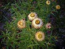 橙色杂种百日菊属花绽放在庭院里 库存照片