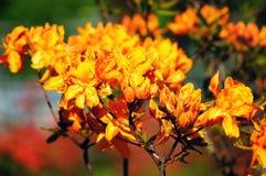 橙色杜鹃花。 图库摄影