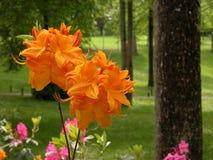 橙色杜鹃花 库存照片