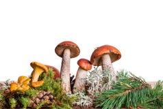 橙色杯子在白色背景隔绝的牛肝菌蕈类蘑菇 库存图片