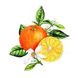 橙色果子的被隔绝的植物的例证 库存例证