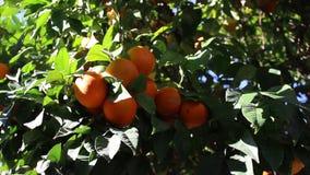 橙色果子 影视素材