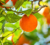 橙色果子 库存照片