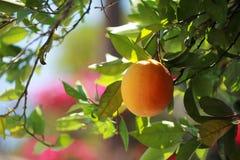 橙色果树园结构树 免版税库存图片
