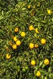 橙色果树园 免版税库存照片