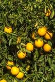 橙色果树园 免版税图库摄影