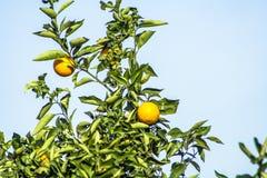 橙色果树园 库存图片