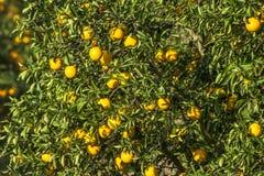 橙色果树园 免版税库存图片