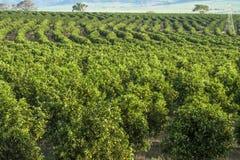 橙色果树园 库存照片