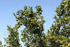 橙色果树,琼脂,中央邦,印度 免版税库存图片